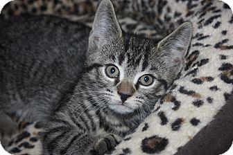 Domestic Shorthair Kitten for adoption in Little Falls, New Jersey - Jake (LE)