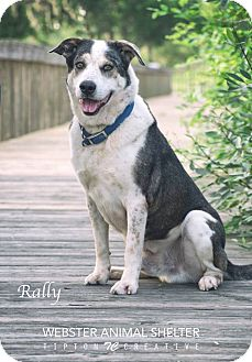 Australian Cattle Dog/Australian Shepherd Mix Dog for adoption in Webster, Texas - Rally