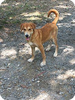 Australian Shepherd/Labrador Retriever Mix Puppy for adoption in Kittery, Maine - Taya