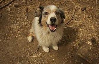 Australian Shepherd Dog for adoption in Pt. Richmond, California - OWEN