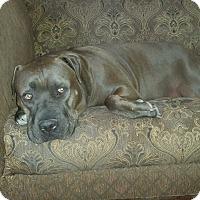 Adopt A Pet :: Kizzie - Encino, CA