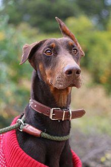 Doberman Pinscher Dog for adoption in Fillmore, California - Vi