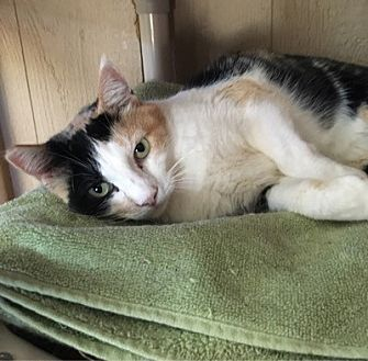 Calico Cat for adoption in Temecula, California - Sarah