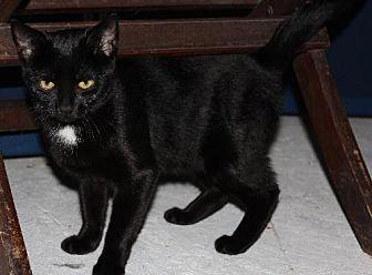 Domestic Shorthair Cat for adoption in Philadelphia, Pennsylvania - Diamond