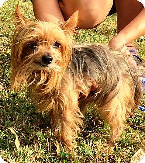 Yorkie, Yorkshire Terrier Dog for adoption in Oswego, Illinois - Louie
