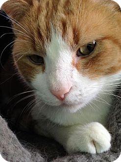Domestic Shorthair Cat for adoption in Fairfax, Virginia - Liam