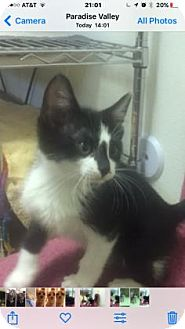 Domestic Shorthair Kitten for adoption in Fountain Hills, Arizona - DOTTIE