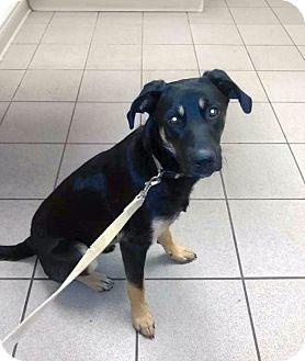 German Shepherd Dog/Shepherd (Unknown Type) Mix Dog for adoption in Columbus, Ohio - Jed