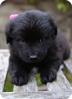Australian Shepherd/Labrador Retriever Mix Puppy for adoption in La Habra Heights, California - Jasmine