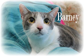 Domestic Shorthair Cat for adoption in Wichita Falls, Texas - Barney