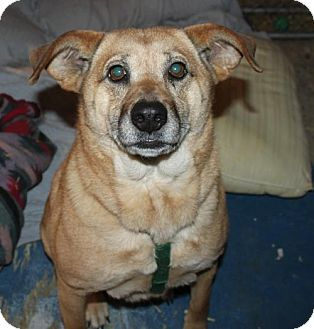 Shepherd (Unknown Type) Mix Dog for adoption in Livonia, Michigan - Lacy-ADOPTED
