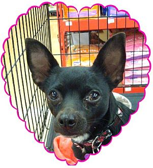 Chihuahua Mix Dog for adoption in Las Vegas, Nevada - Lillian