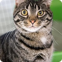 Domestic Shorthair Cat for adoption in St. Paul, Minnesota - Rock
