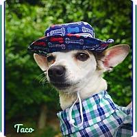 Adopt A Pet :: Taco:  The Perfect Chihuahua - Seattle, WA