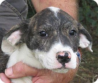 Beagle/Hound (Unknown Type) Mix Puppy for adoption in Germantown, Maryland - Maxine