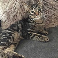 Adopt A Pet :: Gnatty - Addison, IL