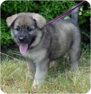 Chow Chow Mix Puppy for adoption in Brenham, Texas - Millie