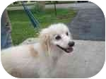 American Eskimo Dog/Spaniel (Unknown Type) Mix Dog for adoption in Plainfield, Illinois - Bucky