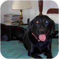 Labrador Retriever Mix Dog for adoption in Avon, New York - Polly