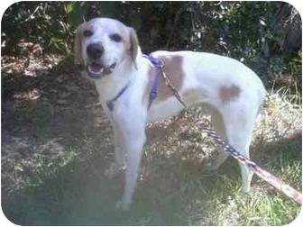 English Setter/Labrador Retriever Mix Dog for adoption in Jacksonville, Florida - Jack Bentley