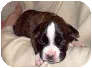 Boxer Puppy for adoption in North Haven, Connecticut - Holly