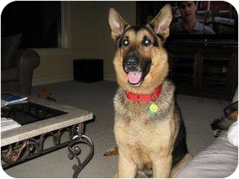 German Shepherd Dog Dog for adoption in Green Cove Springs, Florida - Dexter