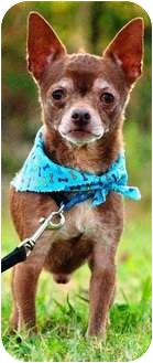 Chihuahua Dog for adoption in Portsmouth, Rhode Island - Jake- w/video!