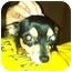 Photo 1 - Chihuahua Dog for adoption in Davie, Florida - Nala