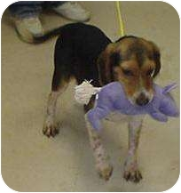 Beagle Mix Dog for adoption in Hammonton, New Jersey - ranger