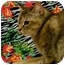 Photo 1 - Abyssinian Cat for adoption in Warren, Michigan - Abbey