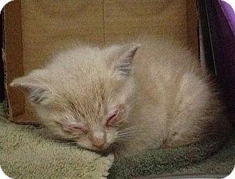 Domestic Shorthair Kitten for adoption in Dumfries, Virginia - Stevie (Wonder)