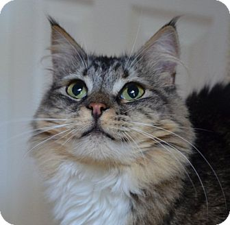 Maine Coon Cat for adoption in Davis, California - Tulula