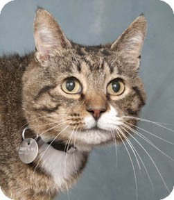 Domestic Shorthair Cat for adoption in Chicago, Illinois - Tiny Tommy