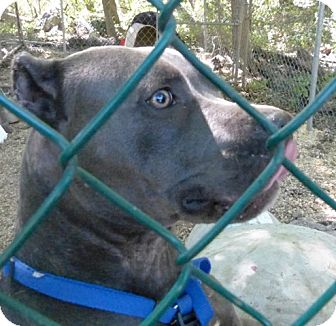 Pit Bull Terrier Dog for adoption in Wanaque, New Jersey - Steel