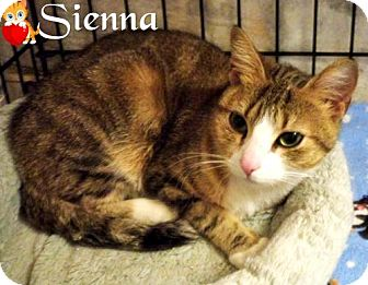 Domestic Shorthair Cat for adoption in River Edge, New Jersey - Sienna