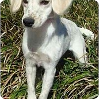 Adopt A Pet :: Missy - Sugarland, TX