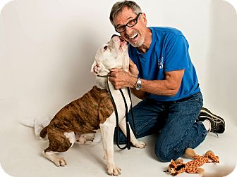 Bulldog/American Pit Bull Terrier Mix Dog for adoption in San Andreas, California - Hercules