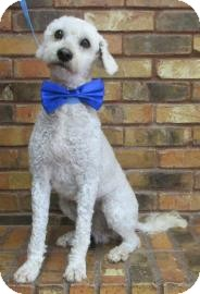 Poodle (Miniature) Dog for adoption in Benbrook, Texas - Dolson