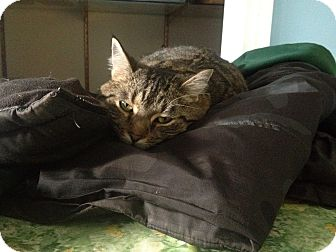 Domestic Shorthair Cat for adoption in LaGrange, Kentucky - Donna