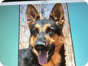 German Shepherd Dog Dog for adoption in Los Angeles, California - RADEN VON RINGER