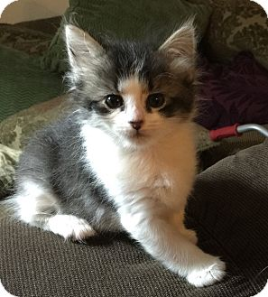 Domestic Shorthair Kitten for adoption in Anaheim Hills, California - Daffodil