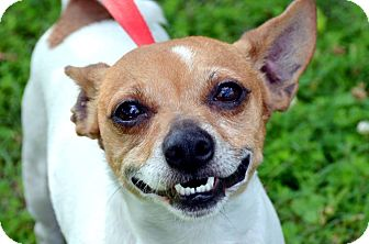Jack Russell Terrier Mix Dog for adoption in Fort Smith, Arkansas - Mr.Russel