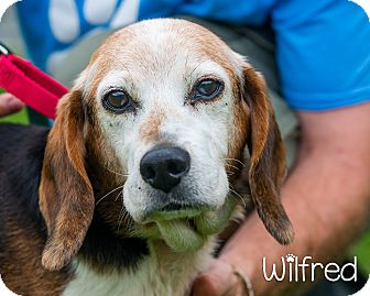 Beagle Mix Dog for adoption in Somerset, Pennsylvania - Wilford