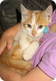 Domestic Shorthair Kitten for adoption in Queensbury, New York - Dandelion
