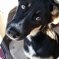 Adopt A Pet :: Nova - West Richland, WA