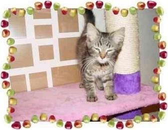 Maine Coon Kitten for adoption in KANSAS, Missouri - Jami