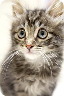 Domestic Longhair Kitten for adoption in Montclair, New Jersey - Donnie