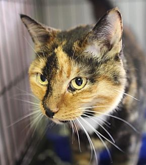 Domestic Shorthair Cat for adoption in Winston-Salem, North Carolina - Autumn