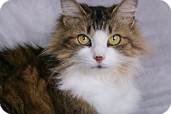 Domestic Longhair Cat for adoption in Cincinnati, Ohio - Zoey
