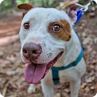 Adopt A Pet :: Bruno - Asheville, NC